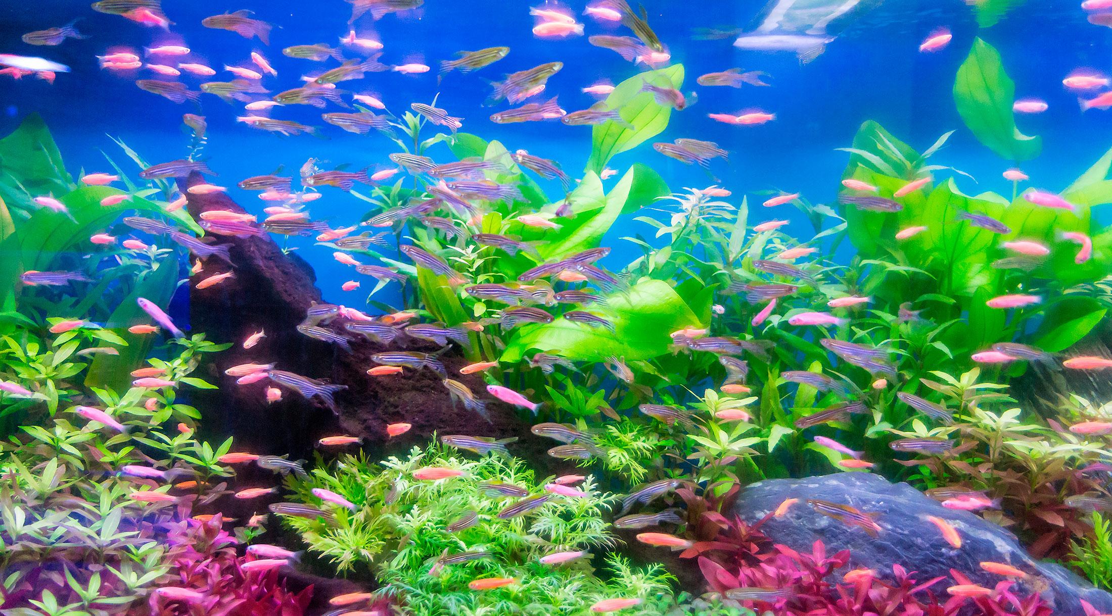 Aclimatar peces en un nuevo acuario wikiacuario for Comida para peces tropicales acuario