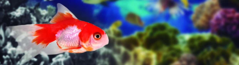 Carassius rojo y blanco wikiacuario for Peces de agua fria carassius
