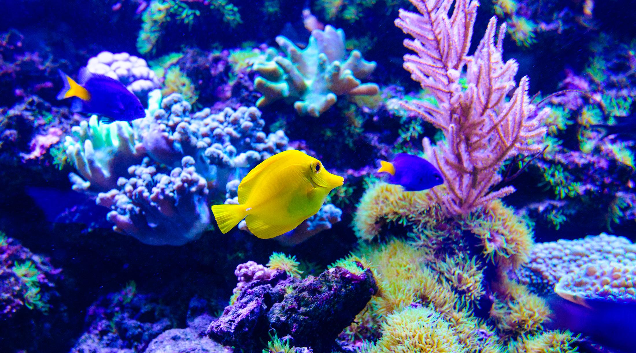 La roca viva en acuarios de arrecife