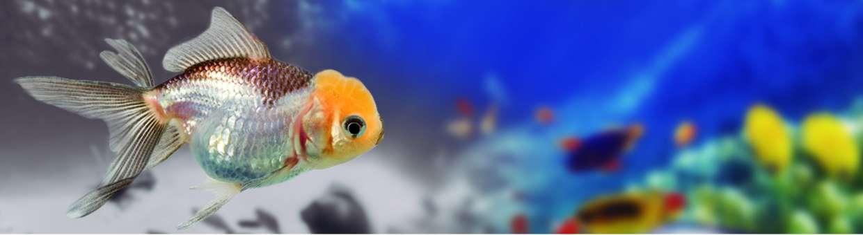 Oranda tricolor wikiacuario for Peces de agua fria carassius