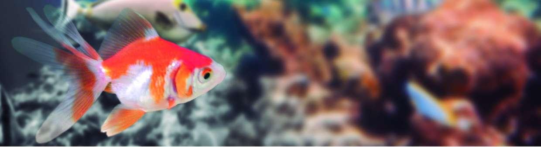 Ryukin rojo y blanco wikiacuario for Peces de agua fria carassius